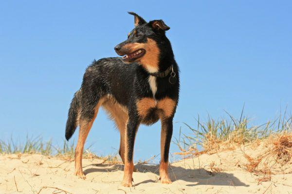 Аустралијски пас Келпие