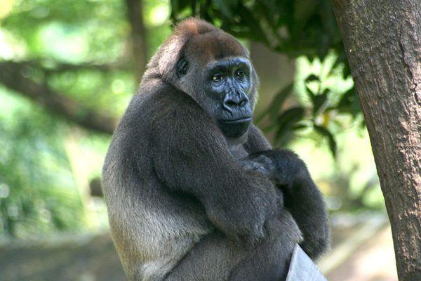 Lääne-Gorilla