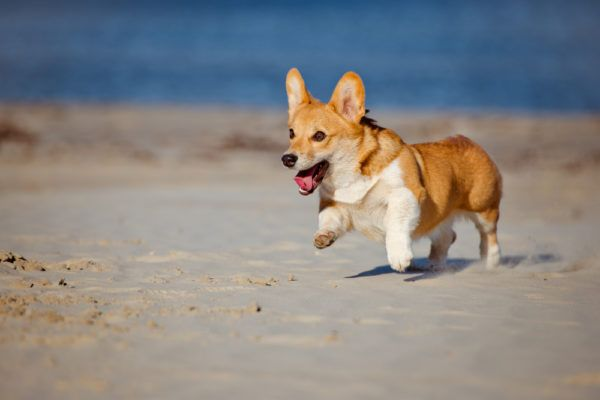 Welsh Corgi: The Complete Pet Guide
