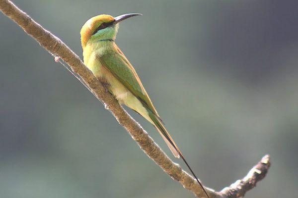 Зелена пчеларица