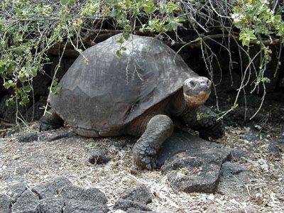 Galapagu bruņurupucis