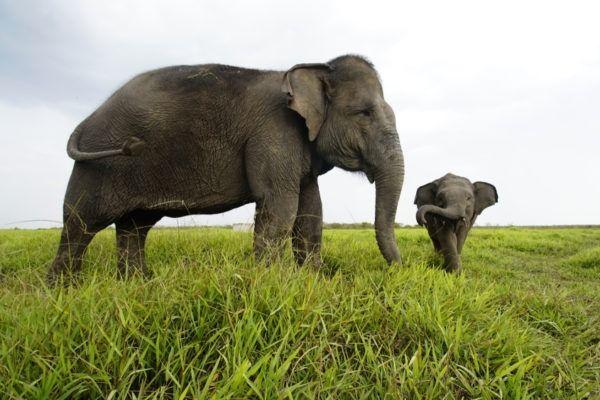 Суматрански слон