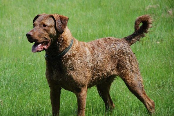 Retriever de la baie de Chesapeake