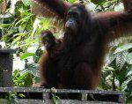 У вестима: Слепи орангутан враћа се у дивљину после револуционарне операције