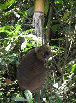 Dobre vijesti za očuvanje Madagaskana